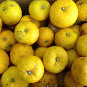 名護の森さんから無農薬の島柚子が入荷しています。明日は冬至。珍しい県産柚子で柚子湯なんて、贅沢ですよね!お正月料理にも是非ご利用ください。