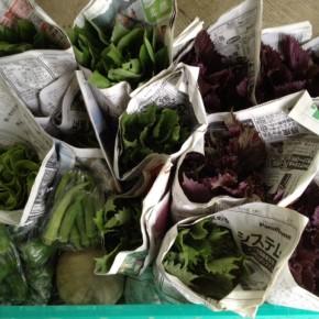 6/27(mon)今帰仁村 片岡農園さんの無農薬栽培の青しそ・赤しそ・ピーマン・オクラ・カボチャ・モロヘイヤ・ウンチェバー・ツルムラサキ・サラダ菜が入荷しました。