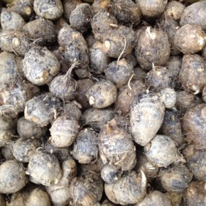 美味しいと評判のマサヨさんの無農薬栽培の里芋が再入荷しました!  泥を落として水から茹でれば、手も痒くならず皮がつるりと剥けます。