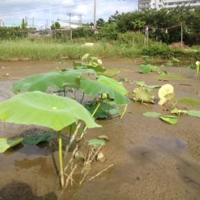 【沖縄れんこん物語⑧】  5月に入ってから田んぼの中の草取りに多くの時間を割いています。  自然栽培は除草がとても大切な仕事。  まずは約40坪の田んぼ三面を8月までに仕上げ、次の植え付けに備えて行きます。(クリックで先週除草した一週間後)