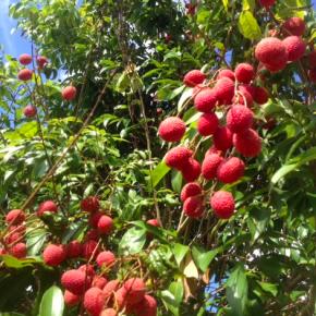 お待たせしました!県産 無農薬栽培の茘枝(れいし/ライチ)の収穫がそろそろ始まります。  茘枝は毎年6/15前後が収穫時期であっという間にシーズンを終えます。  「食べそびれた~」なんて残念な事にならない様に、今年はご予約も承ります。  果肉も厚くとっても甘くてジューシーな県産ライチをお楽しみに~!!  ☎098-943-9575