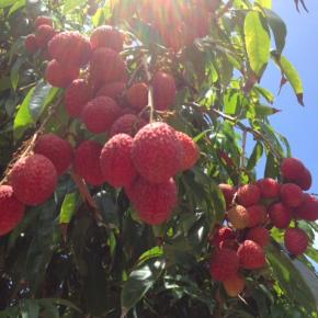 6/15(fri)糸満市の無農薬栽培 茘枝(れいし/ライチ)を採りたて枝付きで仕入れてきました。  茘枝は例年6/15が収穫時期で昨年は長雨もありあっという間にシーズンを終えましたが、今年は少し長く収穫できそうです。  果肉も厚くとっても甘くてジューシーな県産ライチ、召し上がってみませんか?  お電話頂ければ、おとり置きも致します。☎098-943-9575