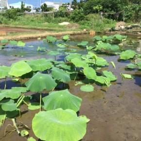 【沖縄れんこん物語⑪】  毎週水曜日は蓮根の作業日。もう梅雨が明けたようなお天気ですね~。  ご覧の通り我らの蓮根は順調順調!  これから夏に向かって農業が熱い!(暑い)季節です。