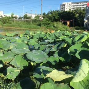 【沖縄れんこん物語⑮】  毎週水曜日は蓮根の作業日。  週を追うごとに葉っぱが大きくなって行くのがわかります。  葉の大きさと蓮根の成長具合は比例しています。  コチラクリックしていただくと、この一ヶ月でどれほど成長しているかが良くわかりますよ。