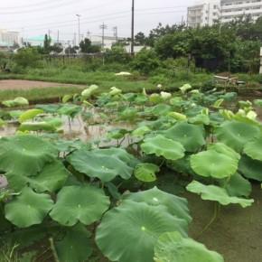 【沖縄れんこん物語⑬】  長雨ですね~、なんかダラダラと。ですが(だから)蓮根の葉は更に大きくなっています。  そして今日は宮城さんが蕾みを発見!花が咲くといいなぁ。