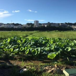 沖縄れんこん「泥んこ収穫体験」は準備の都合上、本日8/10(thu)18時をもちましてお申し込みを締め切らせて頂きます。  来週末も企画中ですので、追ってご案内させて頂きます。