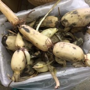 ご好評いただいております宜野湾市大山の自然栽培 沖縄れんこん、が再入荷しました!  サッとアク抜きしてキンピラ、ソテー、カレーなどなど。皮付きでの調理が栄養たっぷりです!   今月一杯の収穫になります。是非一度お召し上がり下さい!!