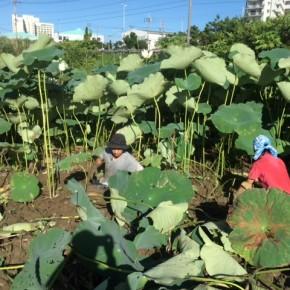 【沖縄れんこん物語⑱】  8月に入って収穫が始まり、  少しですが店頭にて販売を開始した自然栽培で手掘りの沖縄れんこん。  収穫は土の中を探る、まるで宝探し。  そんな楽しい「泥んこ収穫体験」を開催します。
