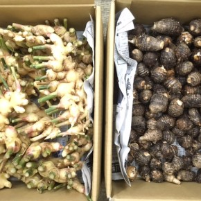 10/10(tue)本日の入荷です。  マサヨさんの無農薬栽培の新生姜・里芋、が入荷しました!