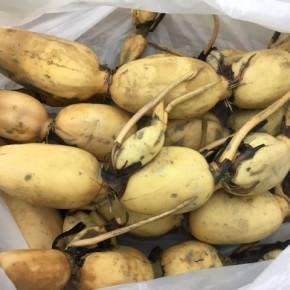 先週、今季初入荷でご好評いただきました、宜野湾市大山の自然栽培の沖縄れんこんが再入荷しました!  収穫が非常に手がかかるため、定期入荷に向け調整中です。