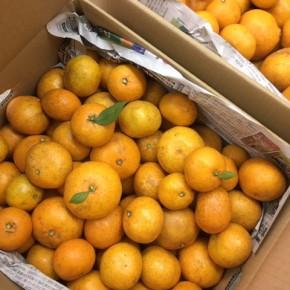 12/11(mon)本日の入荷です。  ご好評いただいている熊本原産 自然栽培みかんが再入荷しました!甘いだけじゃなくバランス良く酸味もあって、とっても味が濃いみかんです。シーズンは今月まで!