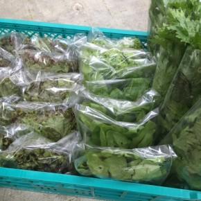 11/30(thu)本日の仕入れです。  糸満市 中村一敬さんの自然栽培のセロリ・パクチー・サニーレタス・グリーンリーフ・無農薬栽培のほうれん草、が入荷しました!