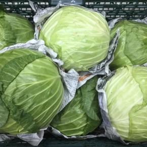 大宜味村 奈良さんの無農薬栽培のキャベツが今シーズン初入荷しました!  奈良さんのキャベツは大振りでずっしりと葉が詰まっていて食べ応えがあります!!