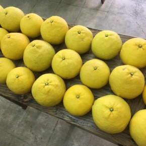 1/9(tue)本日の入荷です。  宜野湾市 比嘉さんの自然栽培の甘夏が入荷しました!果汁たっぷりです。酸味もほどほどでサッパリした美味しさ。食後のデザートにも是非どうぞ!