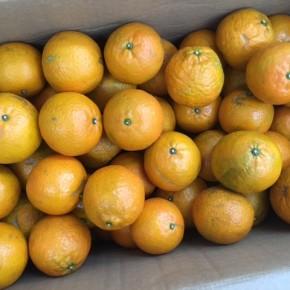 名護 オーシッタイから常盤さんの無農薬タンカンが入荷しました!今年も常盤さんのタンカンは甘くて美味しいです。一緒にフカノ木の花密『にが密』も入荷。後味にほんのり苦さを感じる香り豊かな蜂蜜です。