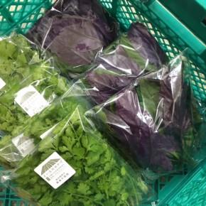 2/8(thu)本日の仕入れです。  糸満市 金城聡さんの無農薬栽培のパクチー・ハンダマが入荷しました!