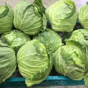 生でもアクがなくてとっても美味しい!大宜味村 奈良さんの無農薬キャベツが入荷しました。