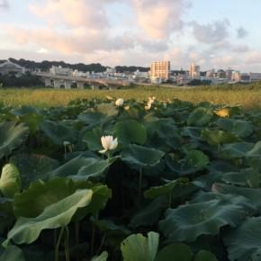 昨年ご好評いただいた自然栽培の「沖縄れんこん」のテレビ取材をしていただきました。  <2/23(fri)沖縄テレビ放送(OTV8ch)18:14~19:00内の『キラリ島パワー』にて放送予定>  沖縄の蓮根栽培はまだ未知数ではありますが、今年も8月には沖縄県産の自然栽培れんこんをお届けしたいと思っています。