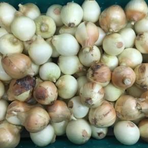 3/31(sat)本日の仕入れです。  八重瀬町 島袋悟さんお無農薬栽培の玉ねぎが入荷しました!