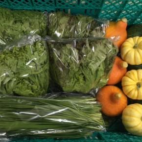 3/10(sat)本日の仕入れです。  糸満市 中村一敬さんの自然栽培のニラ・サニーレタス・グリーンリーフ・鈴カボチャ・プッチーニかぼちゃ・コリンキーかぼちゃが入荷しました!
