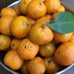 名護 オーシッタイ 加堂さんの自然栽培黄金シークヮーサーが入荷しました!黄色くなるまで木で熟したシークヮーサーは、酸味もありながら甘さタップリ。今の時期だけのお楽しみです!