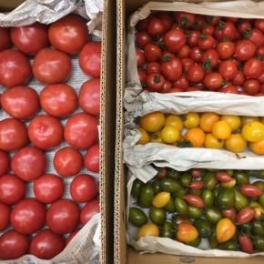 嘉数トマトは繰り返した種採りで8年目。味も安定している嘉数農園さんの看板トマト! 中玉グリーンゼブラは嘉数農園さん初登場!まさにシマウマ模様のかわいい見た目もさることながら、味もしっかりしていて美味しいです。 カラフルミニトマトは特に黒系の玉が甘くておいしいです。 イタリアントマト2種。サンマルツァーノはいわゆるイタリアントマトの細長型、ボルゲーゼはお尻のツンととがったミニ~中サイズのトマトです。どちらも水分少なめの品種なので生食でのみずみずしさには欠けますが、加熱するとその良さが発揮されます。よくトマトソースがいいでしょうか?と聞かれますが、嘉数農園さんとしてはトマトソースには断然嘉数トマトをお勧めされているようです。イタリアントマトはパスタの具材やオーブンでの調理がオススメ!ボルゲーゼはドライトマトにぴったりです。