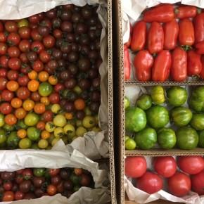 お待たせ致しました!嘉数農園さんのトマトがいよいよ出始めました!!