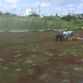 4月の毎週土曜日は沖縄れんこんの田んぼで草取りの日!  今週は農家のマサヨさんがお手伝いにきてくれました!!  1時間ぐらいの作業、裸足で入る田んぼは気持ちいいですよ。  8月の収穫に向けてよろしくお願いしまーす。