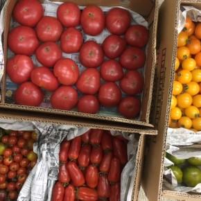 ご好評いただいている嘉数農園さんのトマトが入荷しました!  種類は嘉数トマト(大玉)・中玉トマト・グリーンゼブラ(中玉)・カラフルミニトマト・カリコリミニトマト・サンマルツァーノ(加熱調理トマト)です。  どれも個性があって、いろんな味が楽しめます。