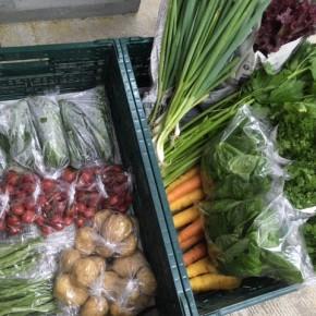今帰仁村 片岡農園さんの無農薬栽培の無農薬栽培のゴーヤー・インゲン・バジル・ねぎ・パクチー・ミニトマト・じゃがいも・人参・セロリ・リーフレタスが入荷しました!