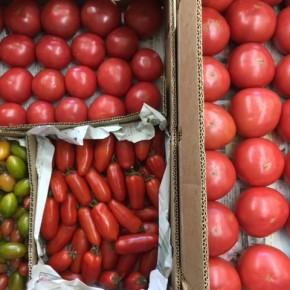 ご好評いただいている嘉数農園さんの嘉数トマト(大玉)・マーブルミニトマト(長)・サンマルツァーノ(加熱調理トマト)が入荷しました!