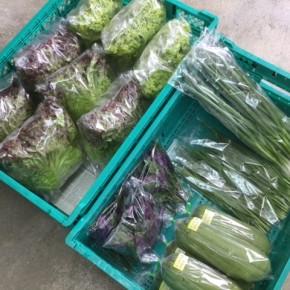5/22(tue)本日の仕入れです。  糸満市 中村一敬さんの自然栽培のサニーレタス・グリーンリーフ・無農薬栽培のニラ・青ねぎ、糸満市 金城聡さんの無農薬栽培のサラダヘチマ・ハンダマが入荷しました。