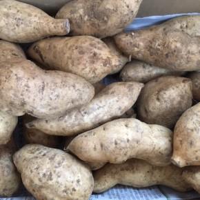 6/22(fri)本日の仕入れです。  読谷村 当真さんの無農薬栽培の紅芋が入荷しました!  今年は紅芋が不作の年で「当真夫妻の紅芋チップス」にする分からわけて頂いています。