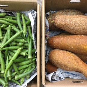 大宜味村 奈良さんの無農薬栽培の丸オクラ・モーウィが入荷しました!