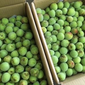 お待たせしました!今年も熊本から自然栽培の青梅が入荷しました!!  今年も大粒で立派な梅ですよ~。梅シロップや梅酢、梅干しにどうぞ。