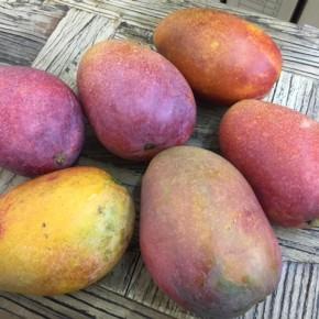 西原町 呉屋さんの無農薬栽培のアップルマンゴーが再入荷しました!  見た目は多少悪くても味は大満足!!  わけありなのでお買い求めやすくなっています。