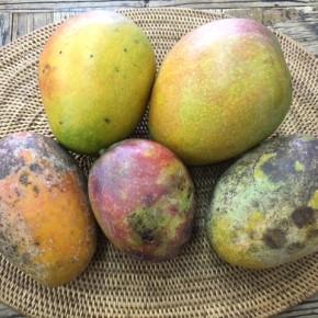 無農薬マンゴー初入荷!  西原町 呉屋さんの無農薬栽培のアップルマンゴーが入荷しました!!  食味には問題ない、わけありマンゴーなのでお買い求めやすくなっていま~す。