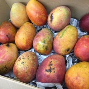 西原町 呉屋さんの無農薬栽培のアップルマンゴーが再入荷しました!  無農薬栽培のマンゴーはあまり出回らないのでとっても貴重ですよ~。