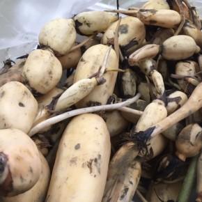 宜野湾市 大山で栽培中の沖縄れんこん、本日も朝堀りで入荷しました!