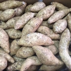読谷村 当真さんの無農薬栽培の紅芋が久しぶりに入荷しました!  今年は紅芋が不作な為、貴重な入荷です。