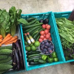やんばるから森さんの無農薬栽培の野菜が到着しました!  本日の入荷はプラム・サニーレタス・リーフレタス・パクチー・ちんげん菜・ハンダマ・からし菜・小松菜・中長茄子・水茄子・トマト・ズッキーニ・ピーマン・キュウリ・ゴーヤー・人参・ホロー豆・シビランです。