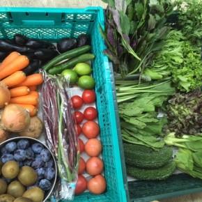 やんばるから森さんの無農薬栽培の野菜が到着しました!  本日の入荷はローリエ・サニーレタス・リーフレタス・パクチー・小松菜・ちんげん菜・からし菜・水菜・ハンダマ・小茄子・水茄子・トマト・中玉トマト・キュウリ・ガーヤー・人参・ホロー豆・サルナシ・レモン・プラム・玉ねぎです。