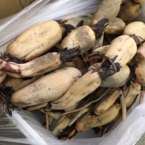 ご好評いただいています、宜野湾市大山の自然栽培の沖縄れんこん。本日も朝堀してきました!
