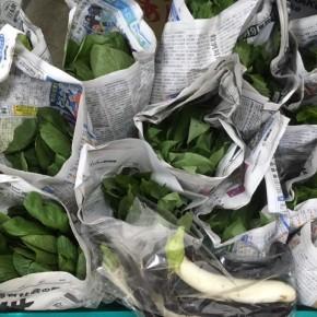 今帰仁村 片岡農園さんの無農薬栽培の小松菜・ツルムラサキ・モロヘイヤ・リーフレタス・青しそが入荷しました!