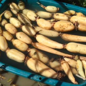 10/6(sat)本日も朝堀りで、自然栽培の沖縄れんこん収穫してきました!