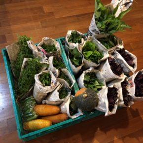 今帰仁村 片岡農園さんの無農薬栽培の野菜が入荷しました!  パクチー・青しそ・赤しそ・モロヘイヤ・ツルムラサキ・おくら・空芯菜・ねぎ・リーフレタス・モーウィ・かぼちゃが入荷しました!