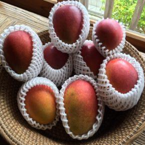 ご好評いただいている西原町 呉屋さんの無農薬栽培のアップルマンゴーが入荷しました!