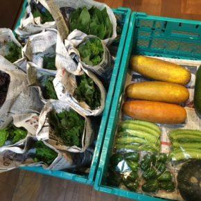 今帰仁村 片岡農園さんの無農薬栽培の冬瓜・かぼちゃ・四角豆・青しそ・赤しそ・モロヘイヤ・ツルムラサキ・空芯菜・モーウィが入荷しました!