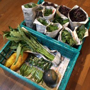 今帰仁村 片岡農園さんの無農薬栽培のかぼちゃ・青しそ・赤しそ・モロヘイヤ・ツルムラサキ・空芯菜・モーウィ・おくら・ピーマンが入荷しました!