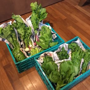 今帰仁村 片岡農園さんの無農薬野菜、ルッコラ・うりずん豆・ツルムラサキ・小かぶ・ちんげん菜・間引き島ダイコンが入荷しました!